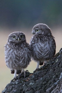 1080x2160 Two Owls Sitting On Branch 4k