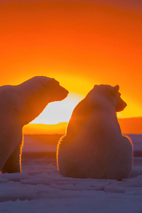 1080x2280 Two Polar Bears Watching Sunset 4k