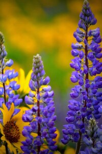 320x480 Washington Wild flowers