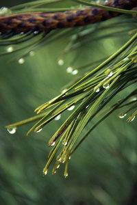 Water Drops On Green Pine 4k