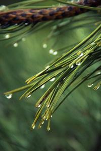 Water Drops On Green Pine 4k