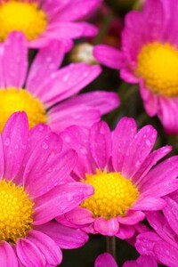 720x1280 Water Drops On Pink Daisies
