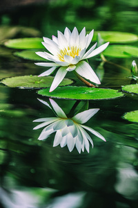 1242x2688 Water Lilies 5k