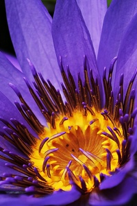 Water Lilies Macro Photography