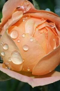 1440x2560 Wet Rose