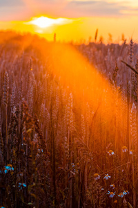 Wheat Field Sun Beams Photography 5k
