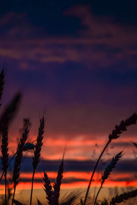 640x960 Wheats During Dawn In Landscape Photography