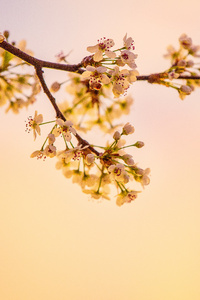 White Cherry Blossoms 5k