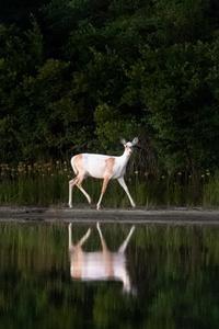 480x800 White Deer