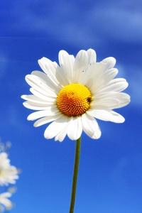 White Diasy Flowers At Summer 5k