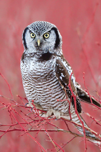 480x854 White Hawk Owl 4k