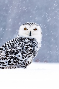 480x800 White Owl In Snow 5k