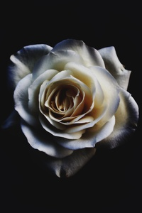 320x480 White Rose Oled 5k