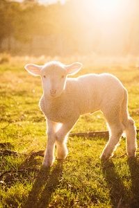 1080x2280 White Sheep Photography 8k
