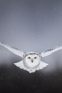 800x1280 White Snow Owl Flying