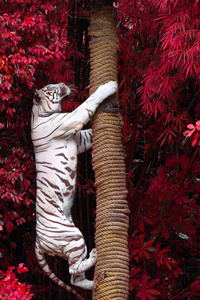 1080x2280 White Tiger Climbing Tree