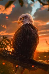 720x1280 Wild Bald Eagle 4k
