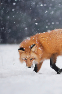 Wild Fox In Snow