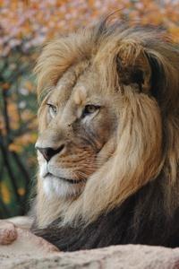 Wild Lion 4k