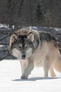 1080x2280 Wild Wolf 5k