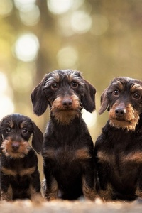 1125x2436 Wirehaired Dachshund Dogs