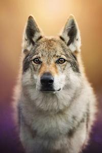 1125x2436 Wolf Dog