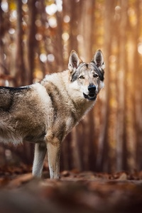 640x1136 Wolf Look Like Dog