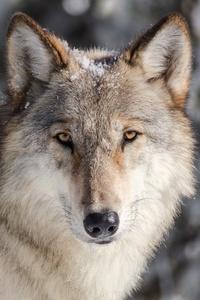 720x1280 Wolf Predator