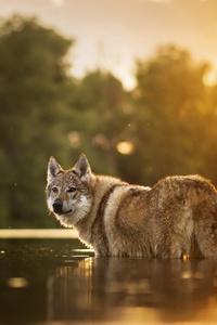 1280x2120 Wolfdog