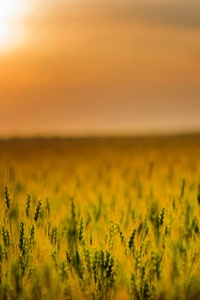 540x960 Yellow Green Field During Sunset 4k