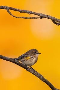 1440x2960 Yellow Rumped Warbler