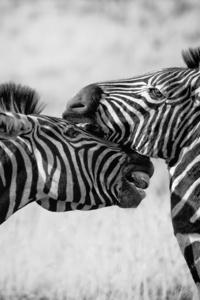 1080x2280 Zebras Black And White 4k